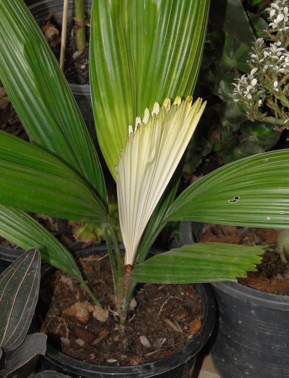 licuala-grandis-variegata_02.jpg