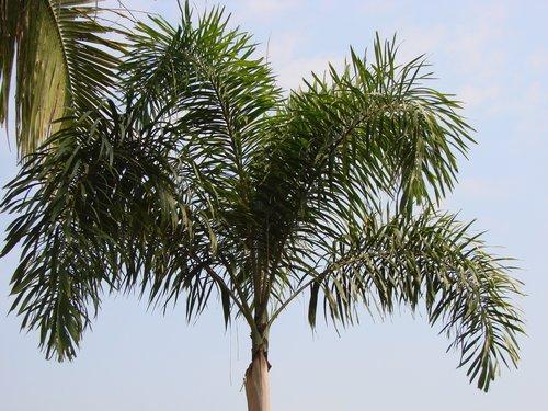 palmier wodyetia