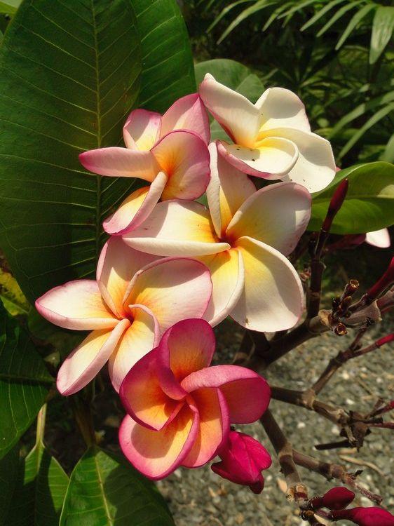LE FORUM DES FOUS DE PALMIERS • Fleurs de frangipanier dans le jardin...